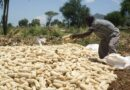 Zimbabwe Maize Deliveries Soar on Improved Payments to Farmers